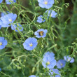 Flax flowers — Stock Photo #41018187