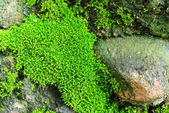Moss and rock — Stock Photo