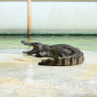 Action of crocodile — Stock Photo