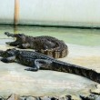 Action of both crocodile in crocodile farm show time — Stock Photo