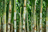 Small sugar cane — Stock Photo