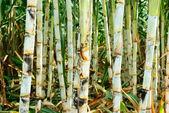 Piękne trzciny cukrowej — Zdjęcie stockowe
