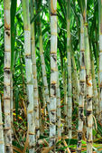 Sugar cane farm — Stock Photo