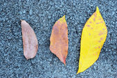 Tripple dry leaf with asphalt texture — Stock Photo