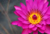 Dark pink water lily — Stock Photo