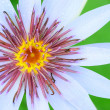 Stock Photo: Water lily pollen background