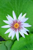 Witte lotus — Stockfoto