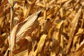 Fond de maïs — Photo