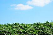Blue cassava — Stock Photo