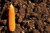 Corn on ground — Stock Photo