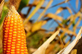 Corn for background — Stock Photo