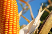 Close up on corn — Stock Photo