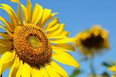 Sunflower background — Stock Photo