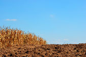 Corn field background — Foto de Stock
