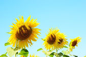 Sunflower row — Stock Photo