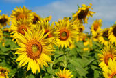 Group of sunflower — Stock Photo