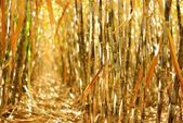 Dry cane row — Stock Photo