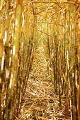 Inside the cane row — Stock Photo