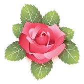Beautiful vector rose — Stock Vector