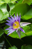 Violet water lily — Stock Photo