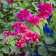 Flowers of bougainvillea — Stock Photo