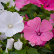 Lavatera pink and white — Stock Photo #42981387