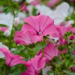 Lavatera pink and white — Stock Photo #42981405