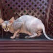 Angry Sphynx cat outdoor — Stock Photo