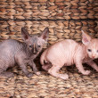 Two sphinx cat - Stock Photo