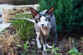Sphinx cat outdoor — Stock Photo