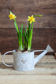 Narcissus in watering-can on wooden table — Stock Photo