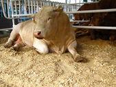 Big bull — Stock Photo