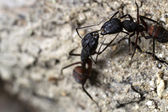Ants fighting — Stock Photo