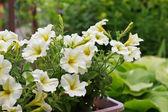 Bright white petunias on garden background — Stock Photo