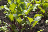 Young beetroot growing on the vegetable bed — Stock Photo