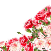 Floral background from carnations — Stock Photo