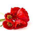 čerstvý jarní květiny tulipány — Stock fotografie