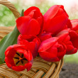 Bunch of red tulips on white background — Stock Photo