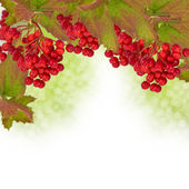 Berries of red viburnum. Autumnal background. — Stock Photo