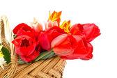 čerstvý tulipány v kbelíku na bílém pozadí — Stock fotografie