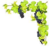 Fresh leaves of grape on white background — Stock Photo