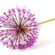Flower of allium — Stock Photo