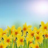 Färska påskliljor i gräs — Stockfoto