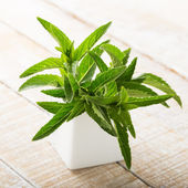 Fresh green leaves of peppermint — Stock Photo