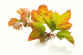 Colorful autumnal leaves on white — Stock Photo