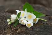 Postcard with elegant flowers of jasmine — Stock Photo