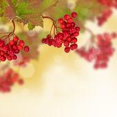 Berries of red viburnum. Autumn background. — Stock Photo