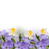 Periwinkle and narcissus spring background — Photo