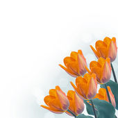 Postcard with fresh tulips flowers — Stock Photo