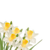 Postcard with fresh narcissus — Stockfoto